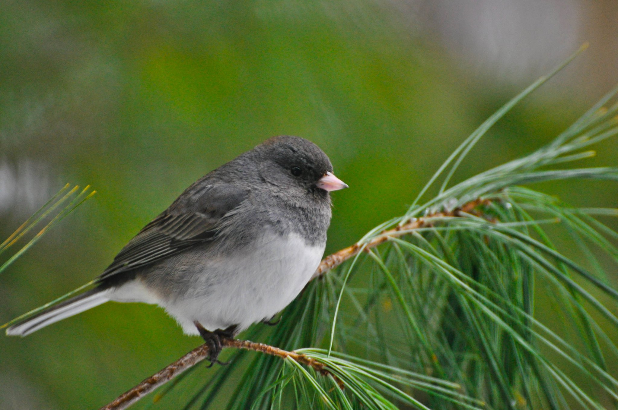 Junco by Joleen Griffin