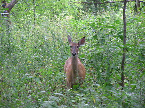 Doe in the meadow