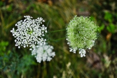 Queen Anne's Lace - Pretty but can be invasive!
