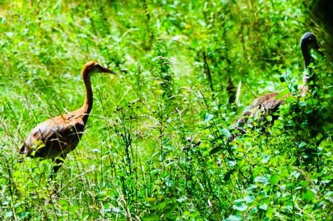 Sandhill Crane couple