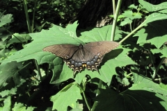 Black swallowtail on Pale Indian Plantain 7/11