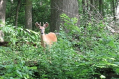 Young Buck 6/11