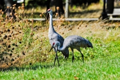 Sandhill Crane-couple-2
